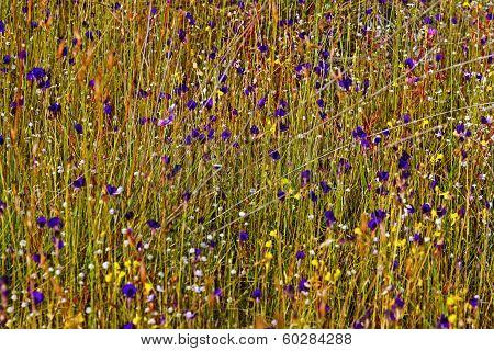 Utricularia Delphinoides Thor.ex Pell.flower (letribulariaceae) Backdrop Wiht Green Grass