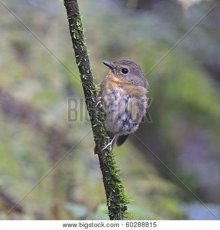 Female Snowy-browed Flycatcher
