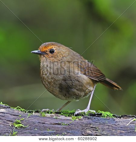 Female White-browed Shortwing