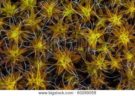 Moss' pattern