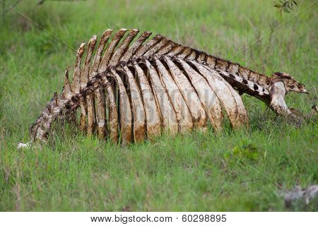 Animal Skeleton Lying In A Grassy Field
