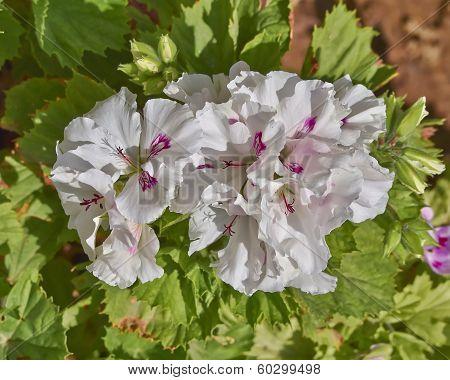 white and pink pelargonium flowers closeup