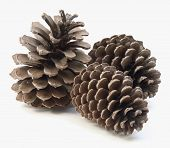 stock photo of pine cone  - Pine cone - JPG
