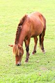 picture of horses eating  - Horse eating grass on field in farm - JPG