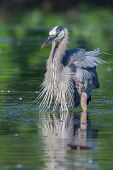 stock photo of bluegill  - Great Blue Heron fishing in the low lake waters - JPG