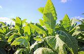 stock photo of snuff  - growing tobacco on a field in Poland