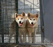 stock photo of akita-inu  - Puppies of Japanese dog Akita Inu in their cage - JPG