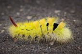 Pale Tussock Moth Caterpillar