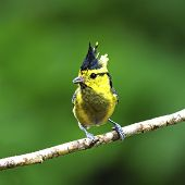 picture of tit  - Colorful yellow bird Yellow - JPG
