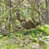 foto of snipe  - Long bill bird male Greater Painted - JPG