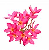 stock photo of plumeria flower  - Blossom of red Plumeria flower tropical flower isolated on a white background - JPG