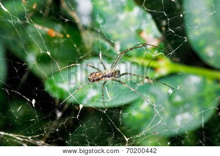 Spider On Cobweb Between Buxus Leaves