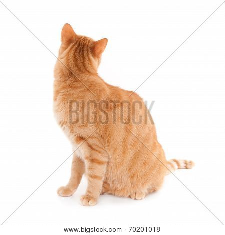 Ginger cat, looking backwards