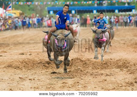 Water Buffalo Racing In Pattaya, Thailand