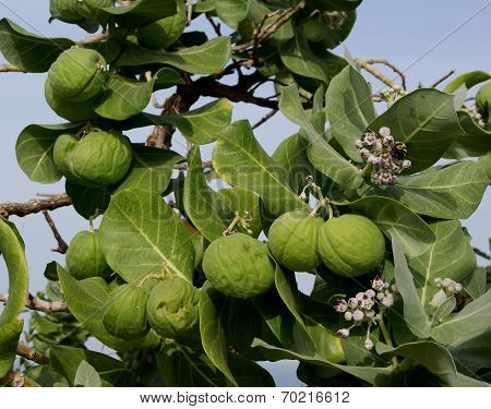 Large exotic fruit with flowers