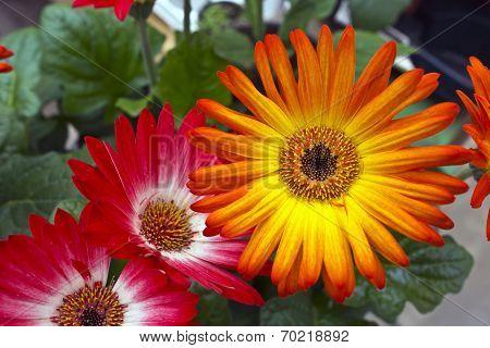 Orange gerbera daisies.