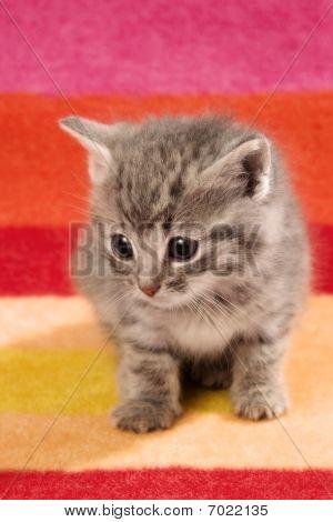 Kitten On Red Rug