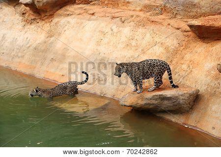 Jaguar Tiger Cat Resting And Swimming