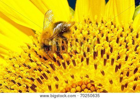 Bumblebee On A Flower Sunflower