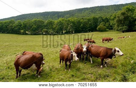 Cows In The Pasture Mountain