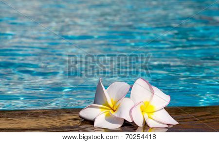 Tropical flower Plumeria  on swimming pool