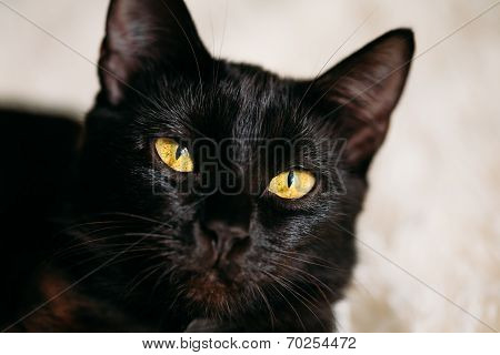 Close Up Portrait Peaceful Black Female Kitten Cat