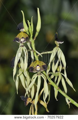 Cockleshell Orchid