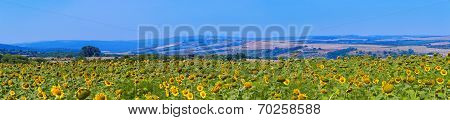 Sunflower Field Panorama