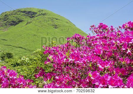 Pink azalea and hill