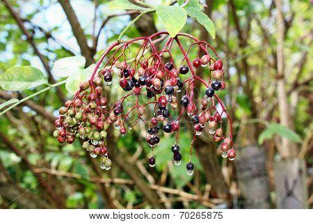 Elderberry Fruits After Rain