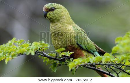 Austral Parakeet