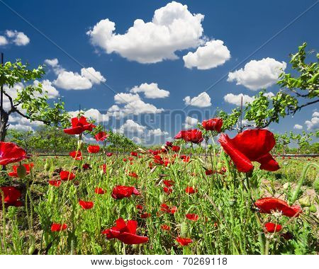Red Poppies In A Texas Vineyard
