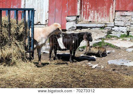Goats & Cat