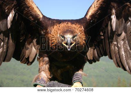 A  Mongolian hunting eagle