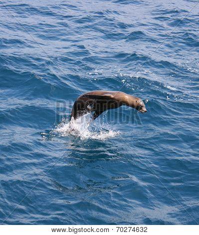 A leaping California Sea Lion