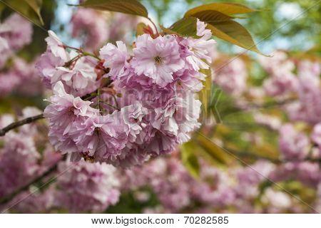 Sakura Cherry Blossom In Spring