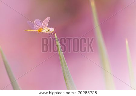 Dragonfly On Green Grass Over Pink Colorful Backgorund