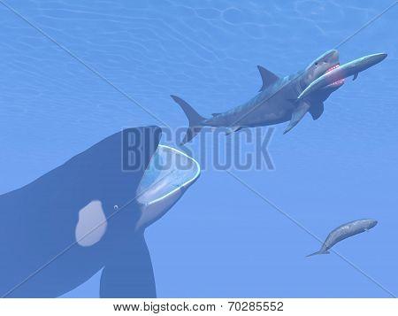 Killer whale attacking small megalodon shark eating blue one - 3D render