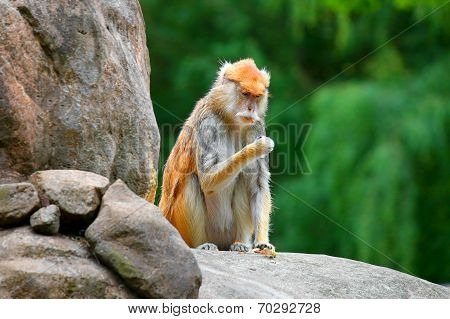 patas monkey Erythrocebus patas climbing on tree