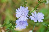 picture of chicory  - blue flowers of common chicory close up in summer - JPG