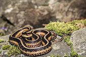 stock photo of garden snake  - An Eastern Garter Snake found in the Garden.