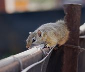 foto of stolen  - Cape ground African squirrel is stolen on a fence