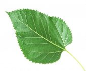 foto of mulberry  - Mulberry leaf on white background isolated - JPG