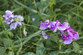 foto of angiosperms  - A pink colored fully blossoming vetch is growing in green grass - JPG