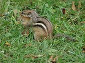 picture of chipmunks  - A chipmunk in the grass enjoying his meal - JPG