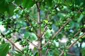 foto of coffee crop  - Coffee tree with green coffee beans on the branch