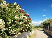 pic of oleander  - oleander street - JPG