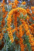 picture of sea-buckthorn  - Beautiful branch of bright sea buckthorn berries - JPG