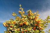 stock photo of tangerine-tree  - Orange tree with fresh fruits - Citrus sinensis
