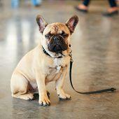 foto of lost love  - Lost Sad Dog French Bulldog sitting on gray floor - JPG